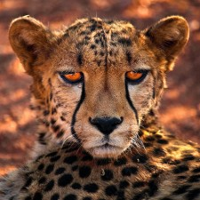 Cheetah by aftab