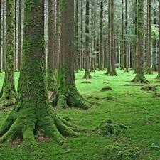 Goughane Barra forest by Michael Foley