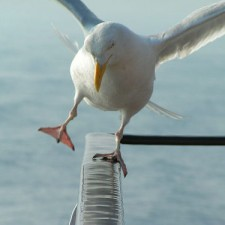 Seagull Out of Balance by Fisserman