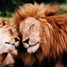 Lions in Love! by Francois de Halleux